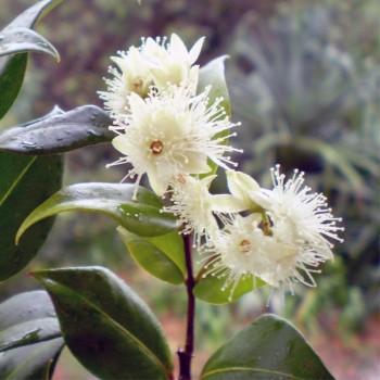 Naturreines, ätherisches Zimtrindenöl BIO Cinnamomum ceylanicum