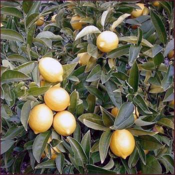 Naturreines, ätherisches BIO Zitronenöl Citrus limonum medica