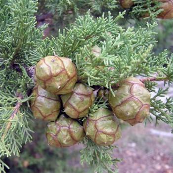 Naturreines, ätherisches Zypressenöl Cupressus sempervirens