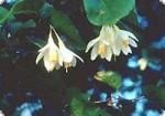 10ml Naturreines Resinoid Onycha Styrax benzoin